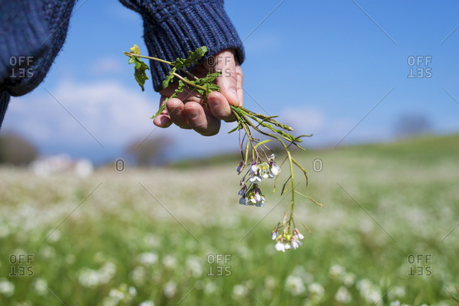 Male hand holding flowers on a green field against blue sky in a sunny day