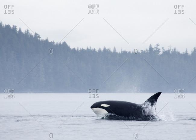 Killer whale swimming in the Johnstone Strait, British Columbia, Canada