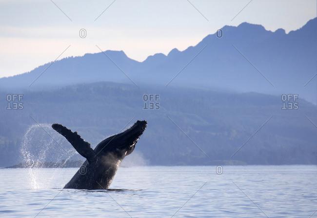 Humpback whale breaching waters in the Johnstone Strait, British Columbia, Canada