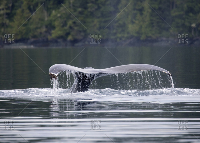 A humpback whale tail splashing in the Johnstone Strait, British Columbia, Canada