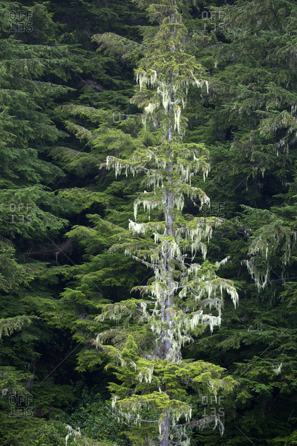 Douglas fir tree covered in Spanish mist due to heavy rainfall, British Columbia, Canada