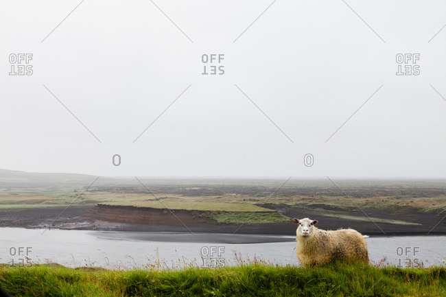 Icelandic sheep standing on cliff overlooking river