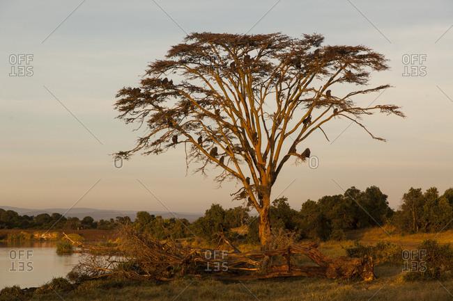 Baboons on tree, Kenya