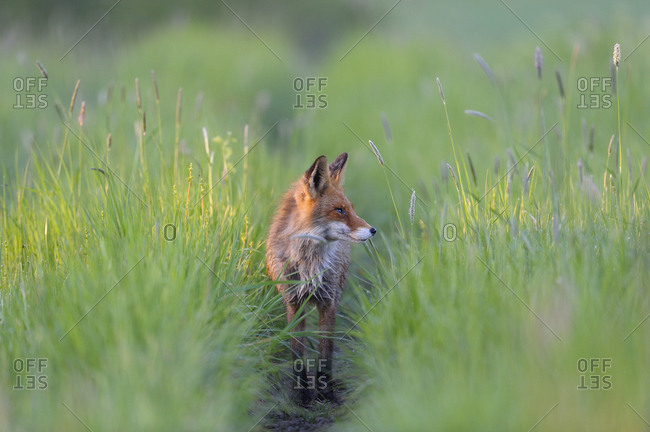 Fox in meadow - Offset Collection