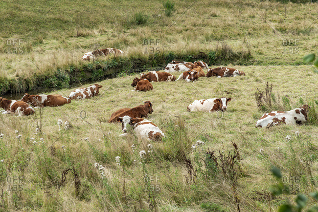 Herd of brown and white bulls resting in a grassy meadow