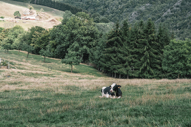 A single black and white cow resting in a meadow