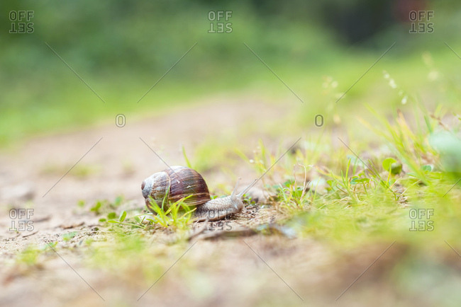 Close up of a small snail with shell slithering on the ground
