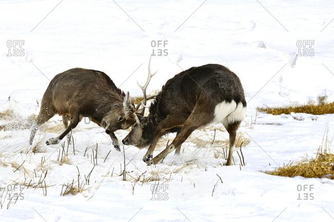 Red deer fight
