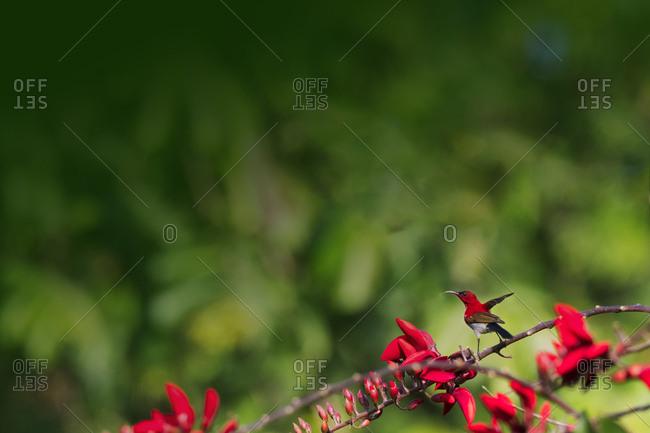 Red sunbird on branch