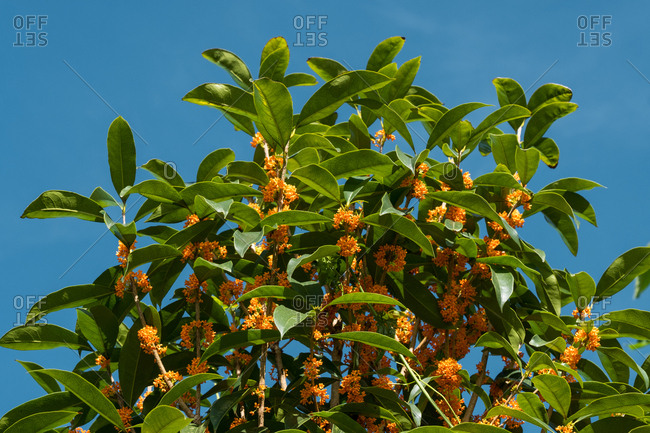 Osmanthus flower tree