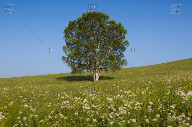 Birch trees of the grasslands