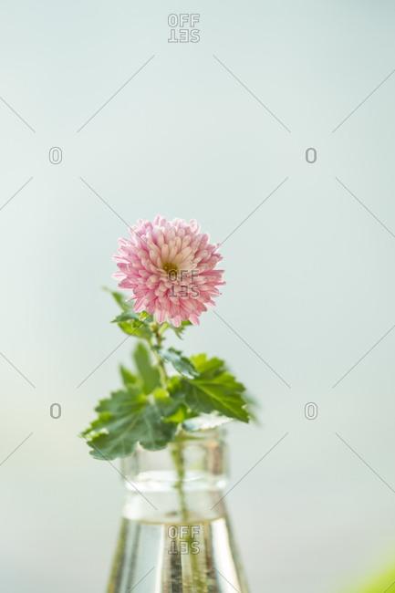 Chrysanthemum in a vase - Offset