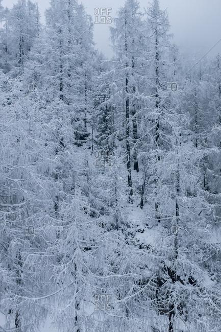 Dagu glacier trees