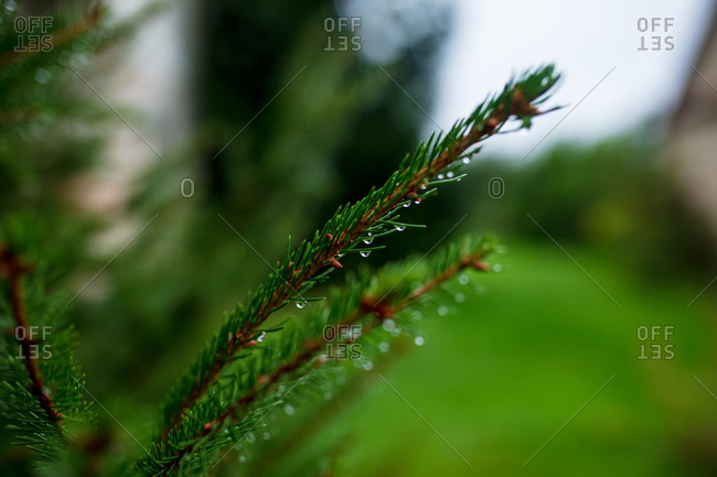 Close-up view on pine branch in a morning