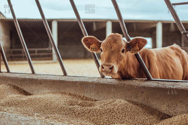 Cute calf in a farm