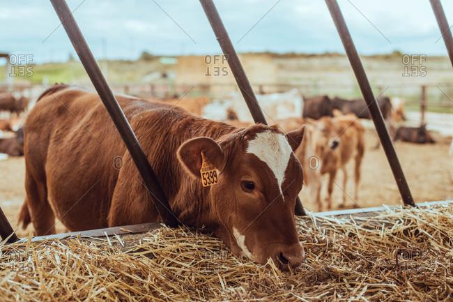 Adorable calf eating on the farm floor