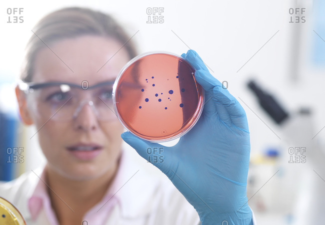 Microbiology- Scientist viewing cultures growing in petri dishes before placing them under a inverted microscope in the laboratory