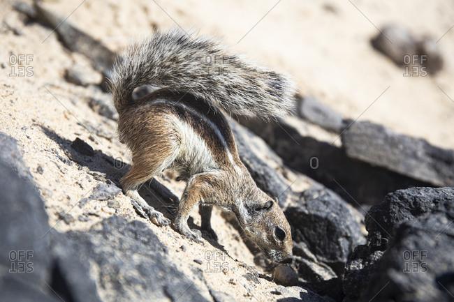 Barbary ground squirrel- Fuerteventura- Spain