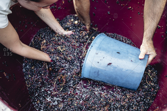 Production of traditional Italian wine, crushing of grapes in the Chianti area of Tuscany.