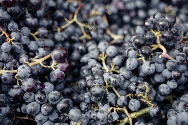 Winery Italy grape variety wine production