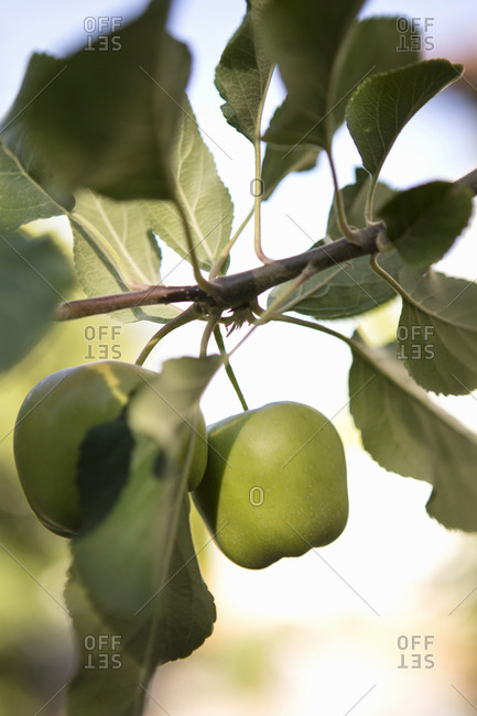 Green apples growing on a branch