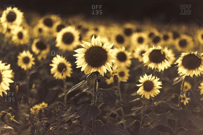 Field of beautiful yellow sunflowers in fall