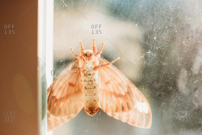 Regal moth seen through a dirty window