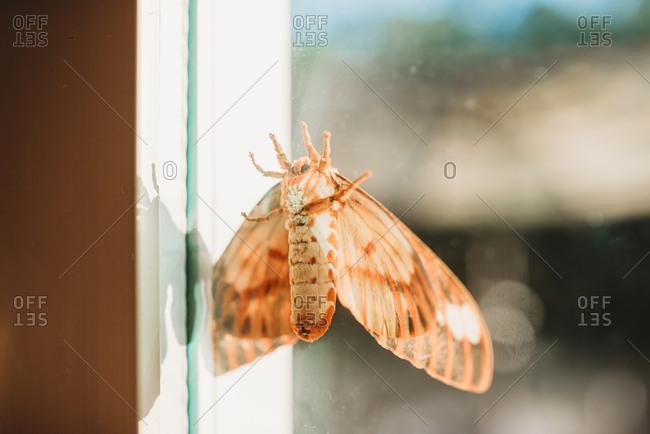 View of a regal moth seen through a dirty window