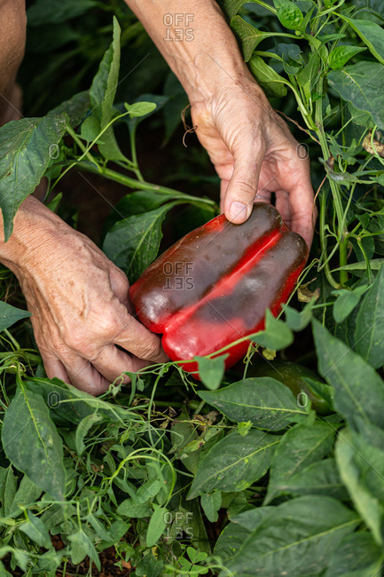 Hands picking a large red bell pepper in a garden