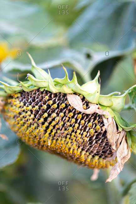 Detail of a sunflower in a garden ready to have seeds harvested