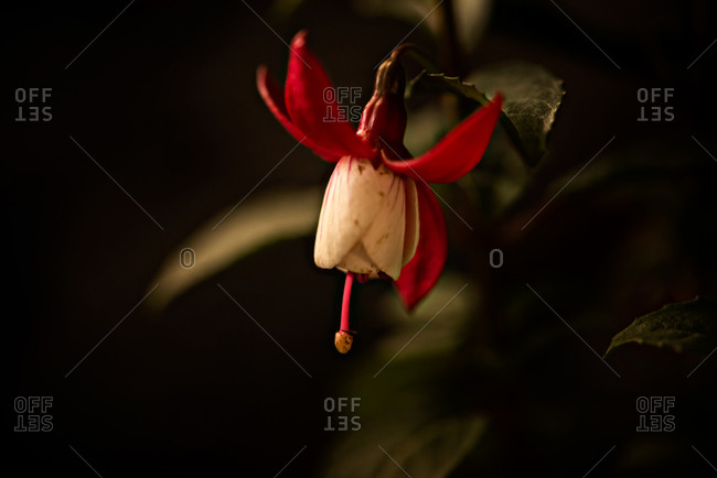 Close up of red and white drop flower with moody background