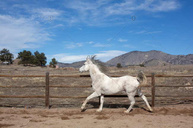 Arabian horse running in a round pen with blue sky