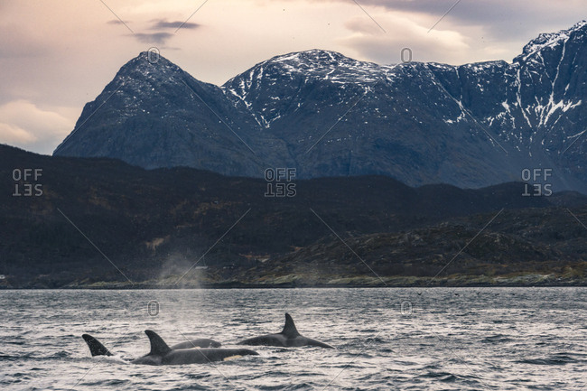 Orcas in norwegian sea