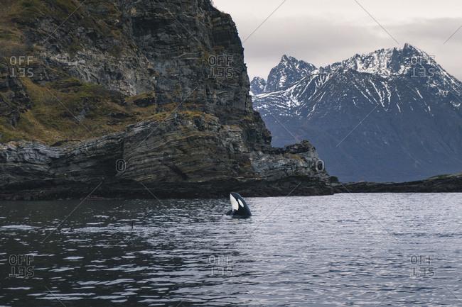 Breaching orca in norway