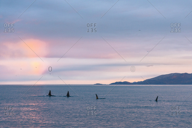 Orca pod at sunset