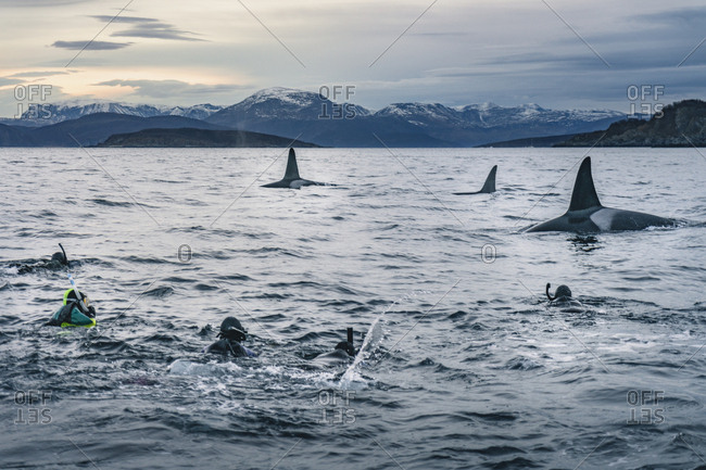 Snorkeling with massive killer whales
