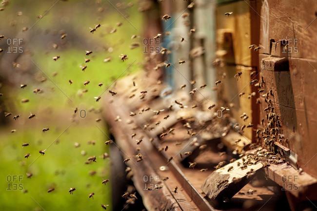 Swarm of honeybees surrounding beehive boxes