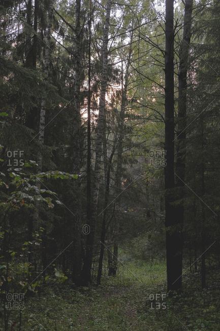 Dark dense forest at sunset