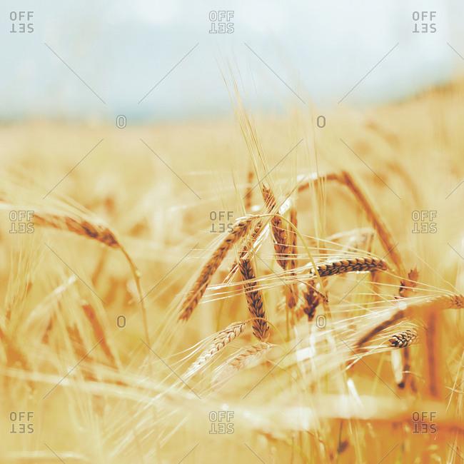 Golden wheat growing in a field
