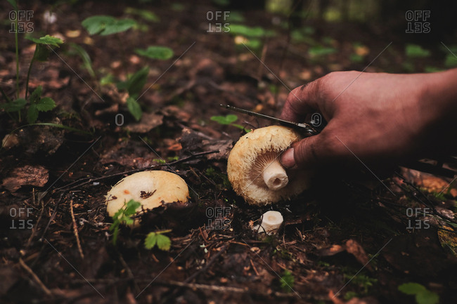 Person with knife cutting a mushroom found in the forest