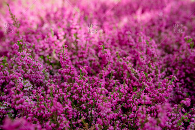 View of beautiful purple heather in a market
