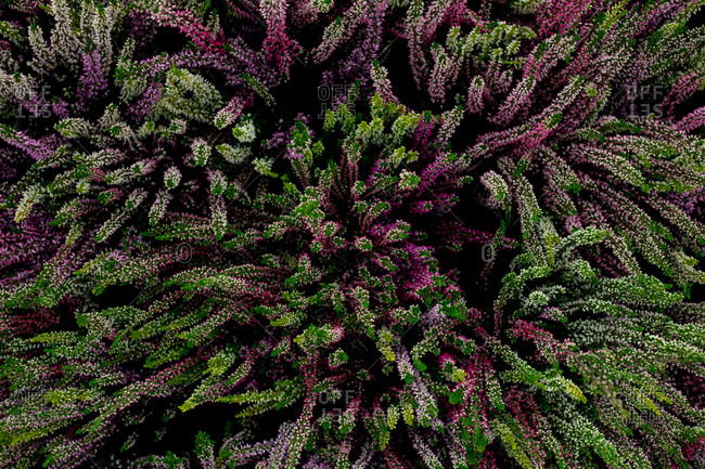 Overhead view of shoots of green and purple heather