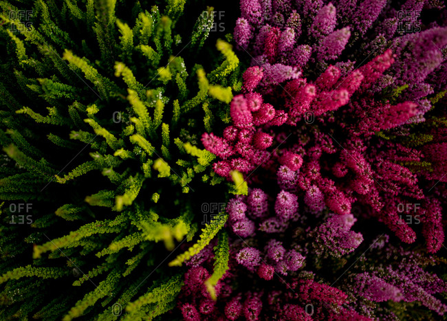 Overhead view of vibrant shoots of green and purple heather