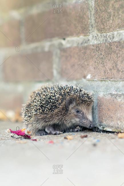 Small hedgehog by brick wall