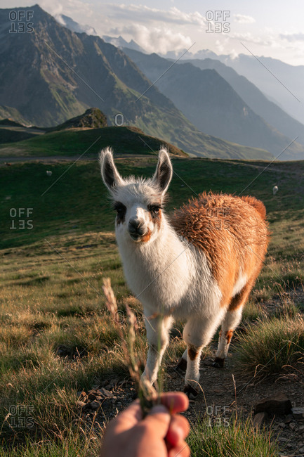 Hand feeding fluffy white and brown spot lama with curiosity looking at camera and grazing in dry grass in valley under mountain