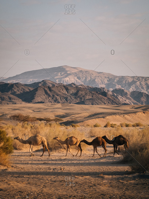 Wild camels on the wadi rum desert
