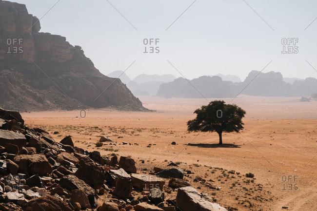 Lonely tree growing on sandy soil on foggy day in wadi rum desert in jordan