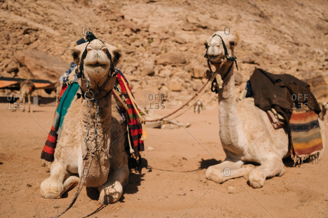 Camels awaiting for their ride in wadi rum