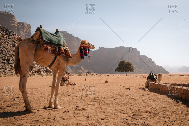 Camel waiting his ride, wadi rum