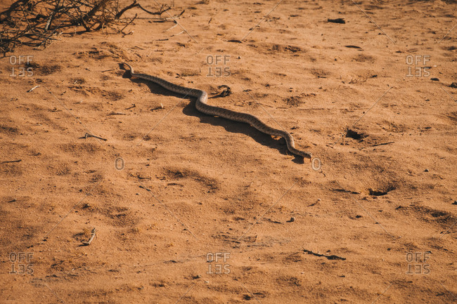 Serpent crawling on dry sandy ground of wadi rum desert on sunny day in jordan